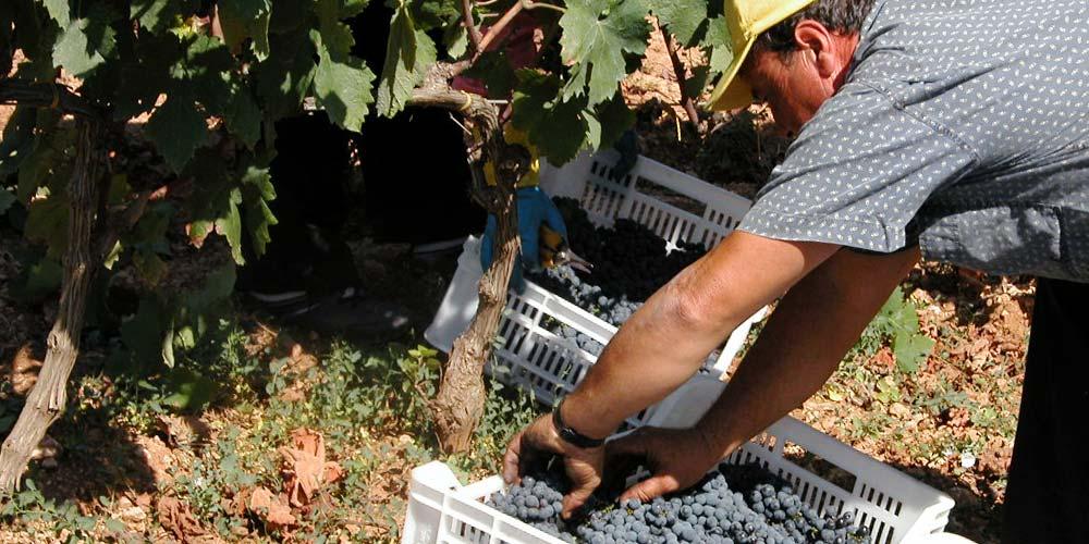 Consorzio Produttori Vini di Manduria, vendemmia